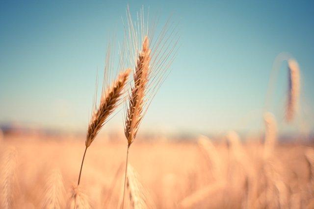 Цены на российскую пшеницу обновили семилетний максимум