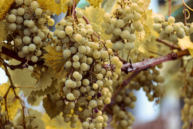 Эксперимент на Дальнем Востоке: органический виноград