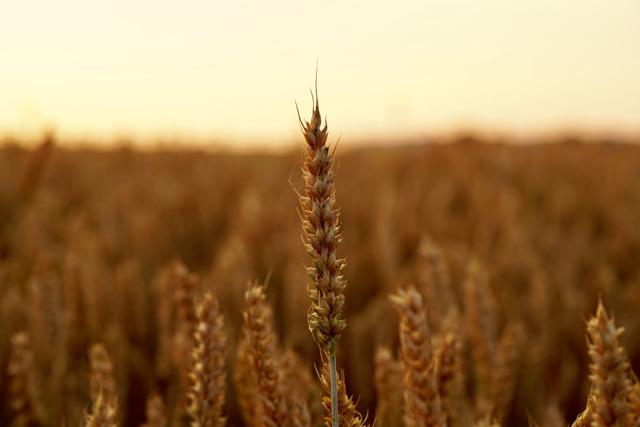 Урожай зерновых: собрали 100 млн тонн