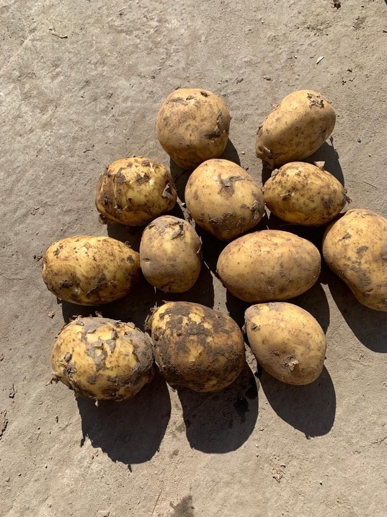 Картофель оптом напрямую от производителя.