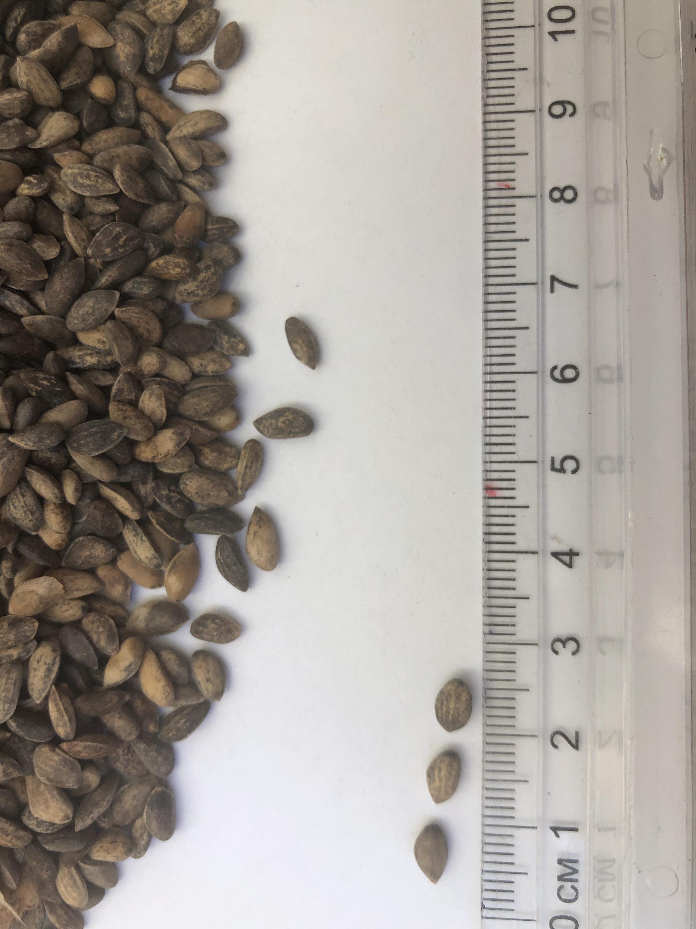 семена сосны крымской