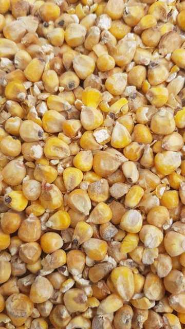 кукуруза №20734
