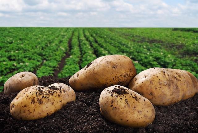 Фермерское хозяйство картофелеводство