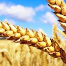 Семена озимой пшеницы Таня, Алексеич, Юка и др