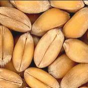 Пшеница №290708