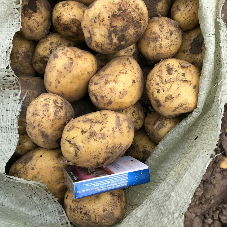 Картофель 5+ Бриз, Гала, Импала, Беллороза, Ред-скарлет