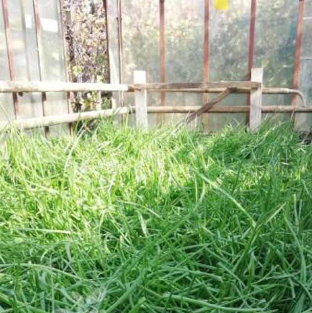 Лук зеленый №98806