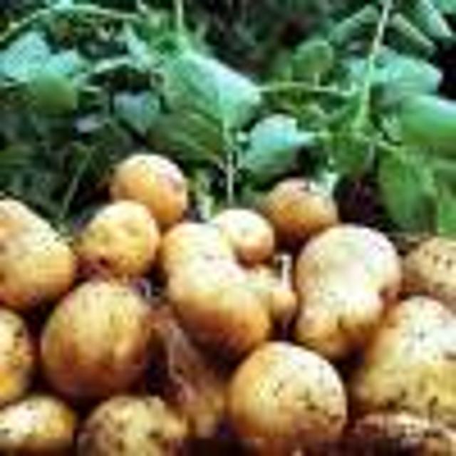 Картофель №103739