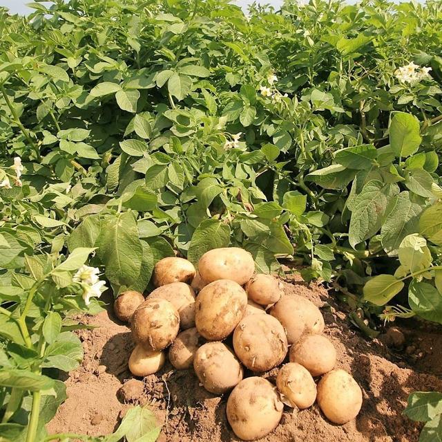 картофель №14721