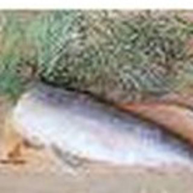 Нельма свежемороженая ПБГ 1 1 5 кг