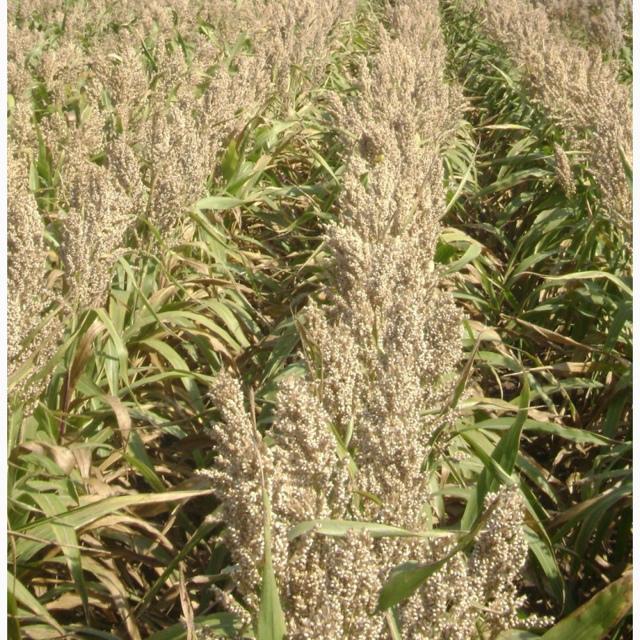 Семена белозерного сорта сорго зернового от оригинатора