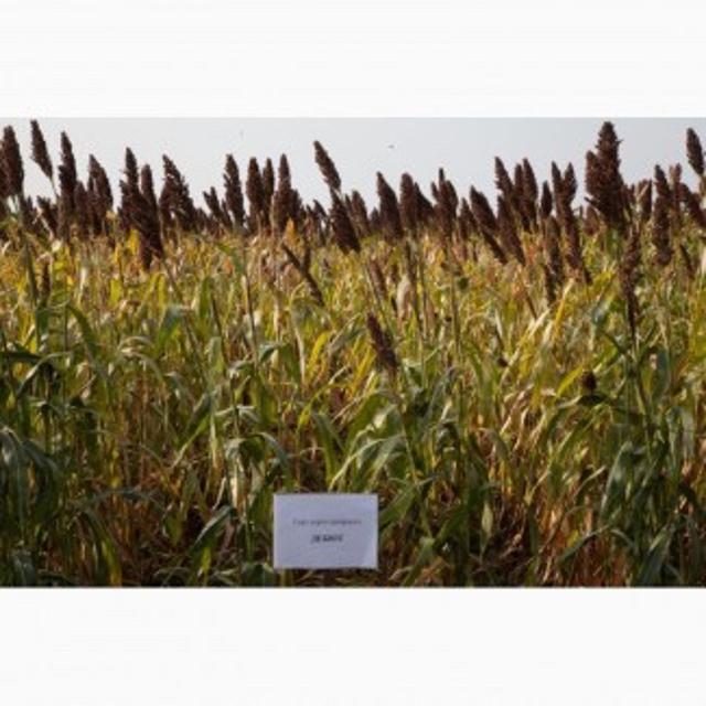 Cемена сорго на силос от оригинатора http://agro-russia.