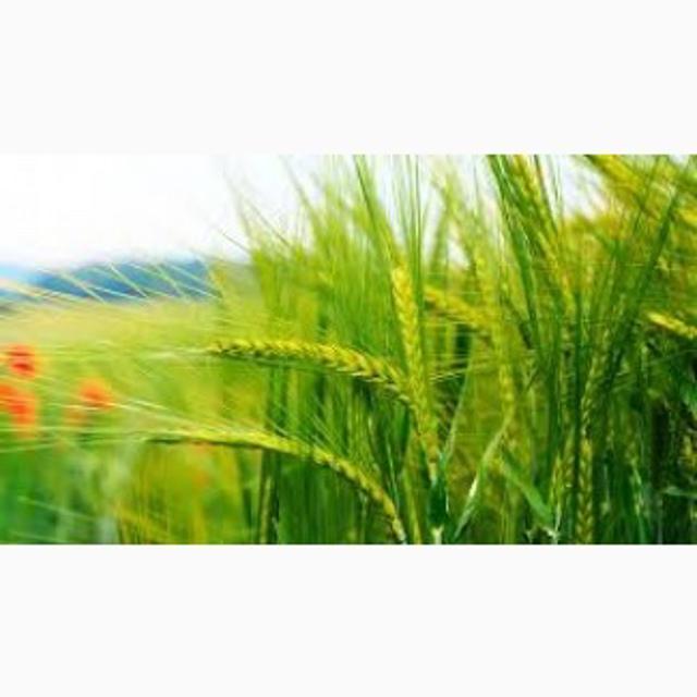 Экспорт кукуруза в Иран