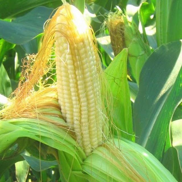 Гибриды семена кукурузы НК Фалькон, Нерисса, Делитоп