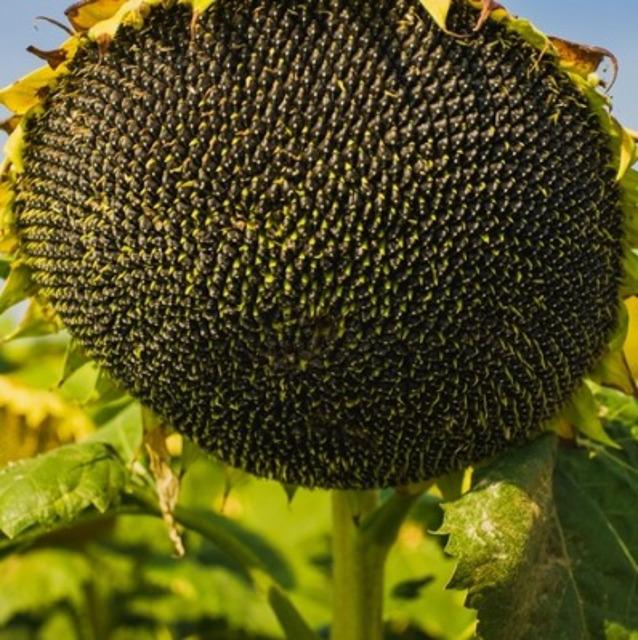 Семена подсолнечника гибрид Эдванс F1