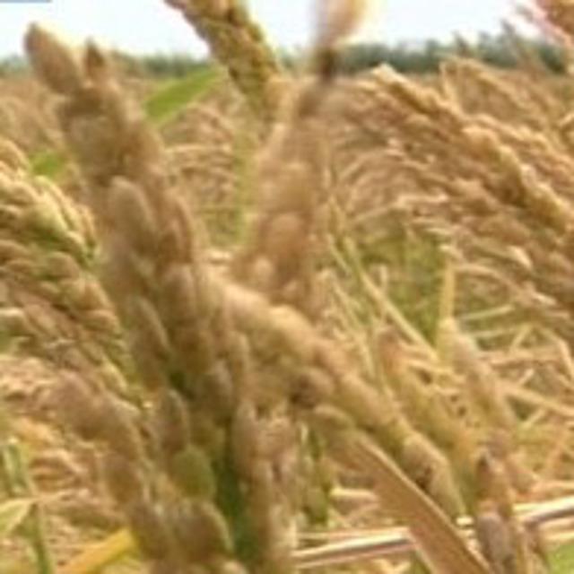 Семена риса сорт Кубояр, Южанин, Командор, Боярин ЭС.