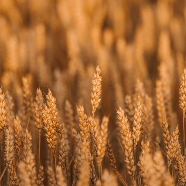 Семена пшеницы озимой : Граф, Степь, Веха, Сварог