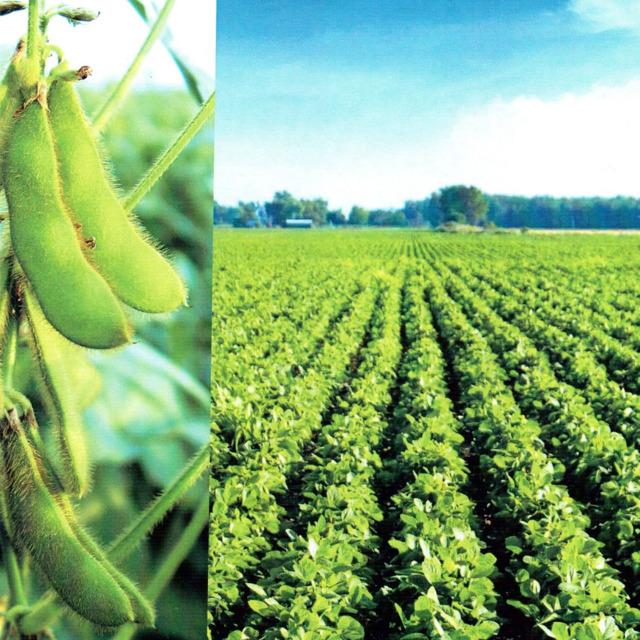 Элитные семена сои Дальневосточной селекции