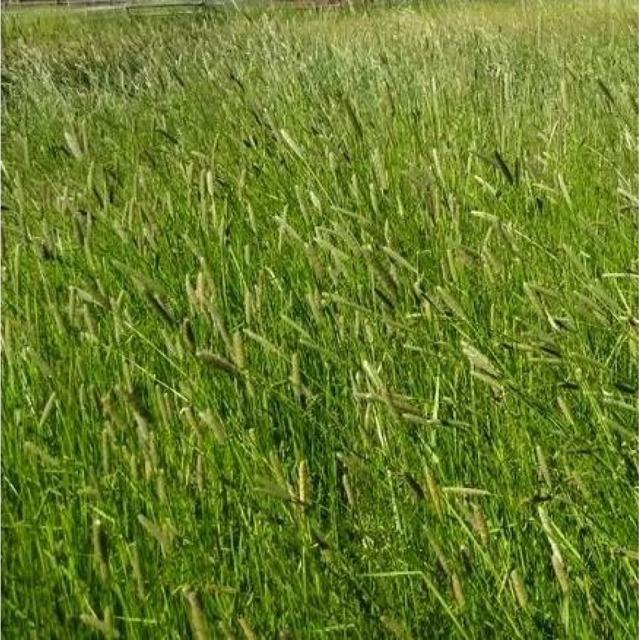 Многолетние и однолетние травы семена