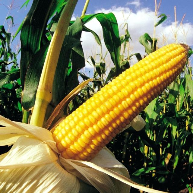 Евралис семена гибрида кукурузы