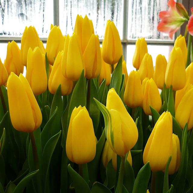 Тюльпаны оптом №242067