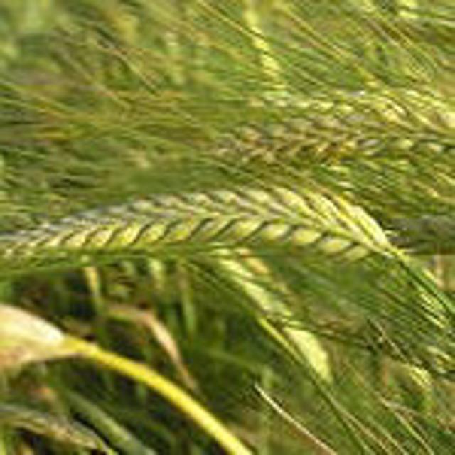 Семена ячменя. Элита Щедрый
