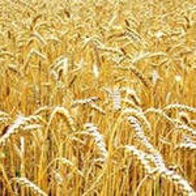 Семена яровой пшеницы.