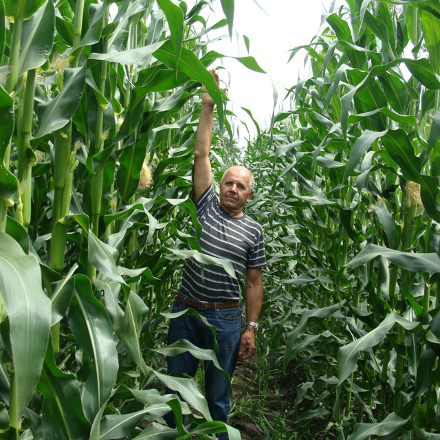 кукуруза Глория семена