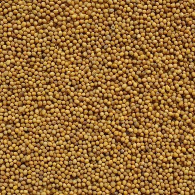 Семена горчицы белая Рапсодия