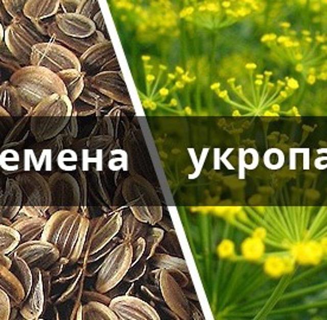 Укроп, семена, сорт Скиф