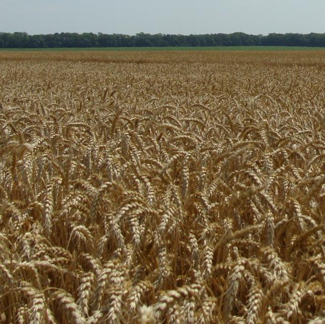 Семена озимой пшеницы элита
