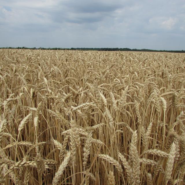 "Семена озимой пшеницы ""Снигурка"""