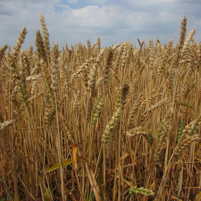 """Семена озимой пшеницы """"Безостая 100"""""""