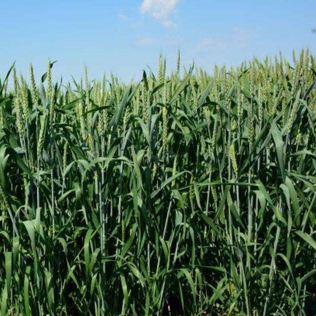 """Семена озимой пшеницы """"Гурт"""" от производителя."""