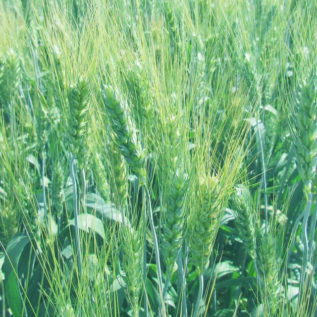 Семена озимой пшеницы Донская степь от производителя