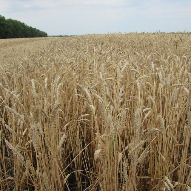 """Семена озимой пшеницы """"Донэко"""" от производителя"""