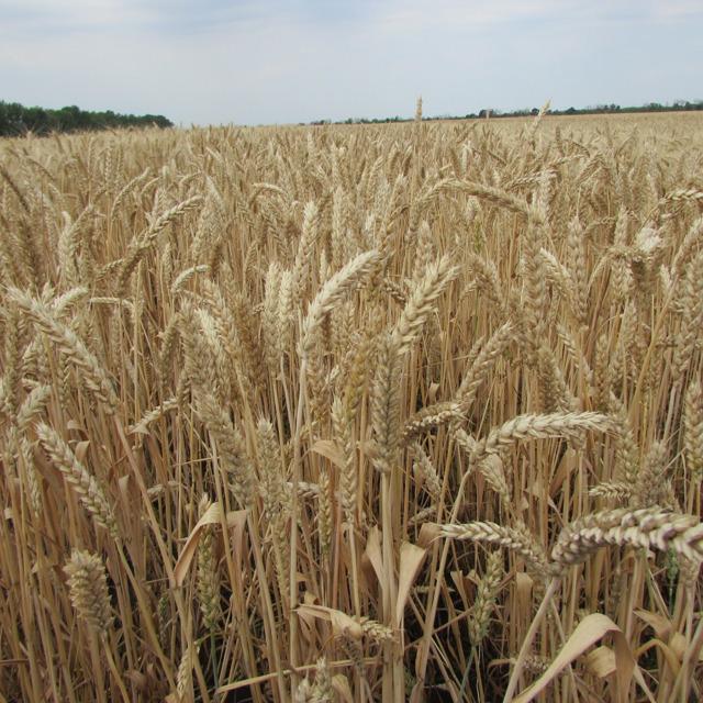 """Семена озимой пшеницы """"Скипетр"""" от производителя."""