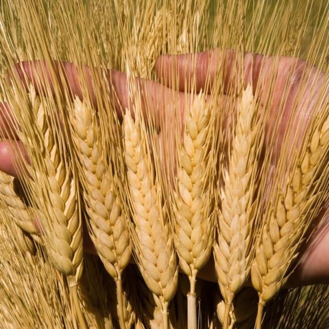Семена озимой пшеницы сильные и ценные сорта