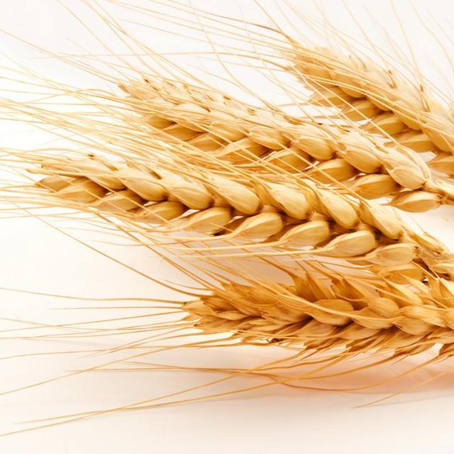 Семена озимой пшеницы среднеранний сорт Безостая-100