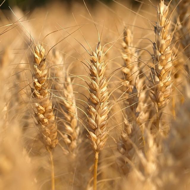 Семена озимой пшеницы среднеспелый сорт Ахмат