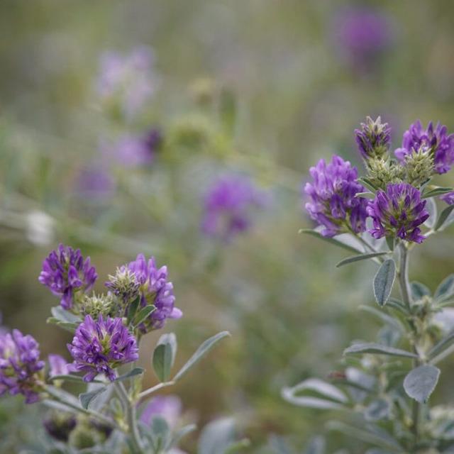 Семена люцерны Багира, Манычская