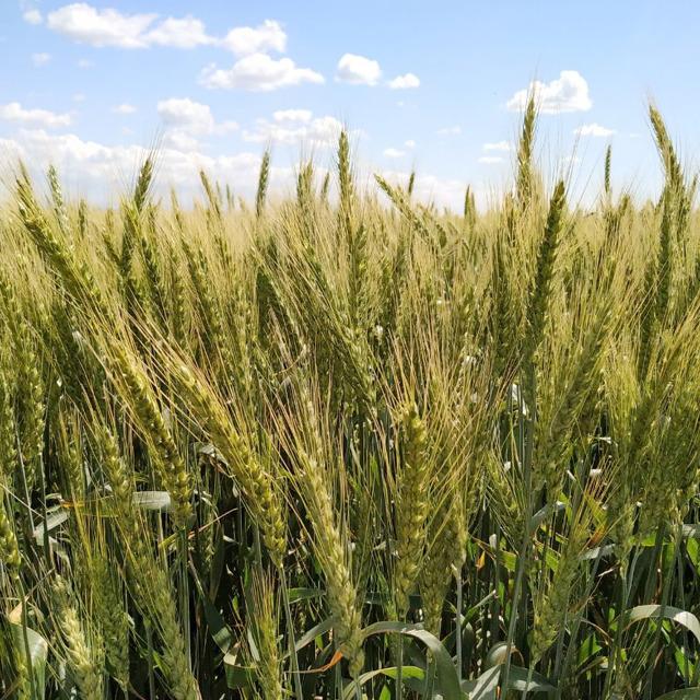 Озимая пшеница Секлетия