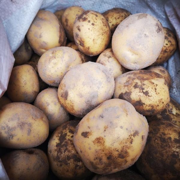 Продам Картофель товарный Коломбо