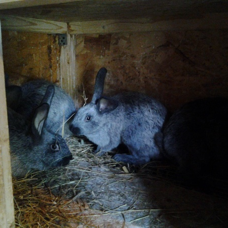 Кролики мясных пород : Ризен, Фландр